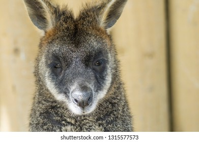 Wallaby just sitting staring