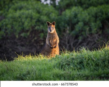 Wallaby lighten up by a ray of sun in the grass Phillip Island in Australia