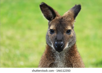 Wallaby looking at camera