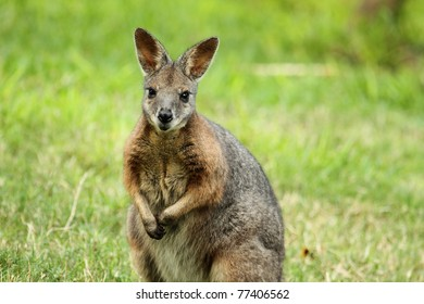 Wallaby looking at camera sitting up