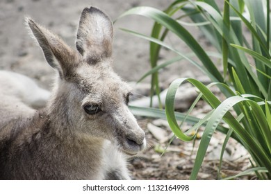Wallaby are middle-sized marsupial mammals belonging to the kangaroo family, Macropodidae