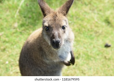 Wallaby in New Zealand