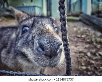 Wallaby or small kangaroo