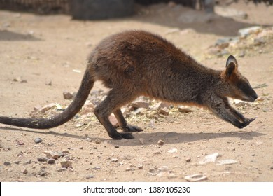 A wallaby is a small- or mid-sized macropod native to Australia and New Guinea, with introduced populations in New Zealand, UK and other countries. They belong to the same taxonomic family as kangaroo