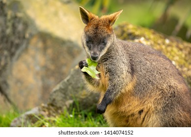 Wallaby, a small or mid-sized macropod native to Australia and New Guinea.