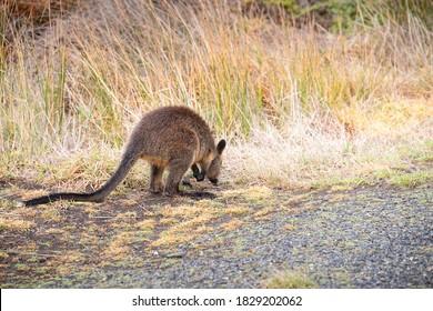 Wallaby schnüffelt das Gras am Rande einer Asphaltstraße auf Phillip Island, Australien