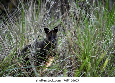 Wallaby in a wild hiding in the grass in the eucaluptus forest