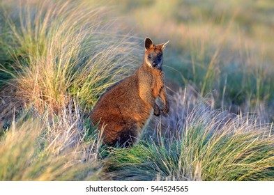 Wallaby in the wild on a windy day. Taken near Phillip Island, Victoria, Australia.