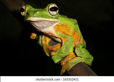 Wallace's or Abah River Flying Frog (Rhacophorus nigropalmatus) perches & watches in the rain forests of Malaysian Borneo. Large webbed feet allow frog to glide long distances through the air. Male.
