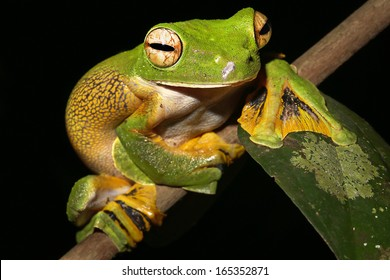 Wallace's or Abah River Flying Frog (Rhacophorus nigropalmatus) perches & watches in rain forests of Malaysian Borneo. Large webbed feet allow it to glide long distances through air. Pregnant female.