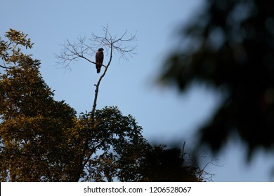 Wallace's hawk-eagle (Nisaetus nanus) (earlier under the genus Spizaetus) close-up, perched on tree branch in Sepilok, Borneo, Malaysia