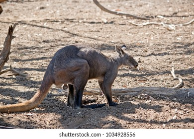 the wallaroo is smaller then a kangaroo and larger than a wallaby