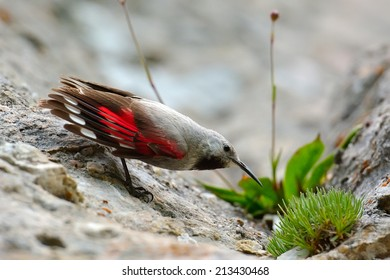 The Wallcreeper (Tichodroma muraria) in natural habitat