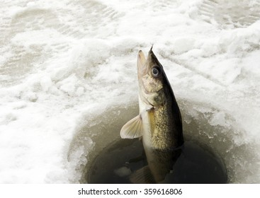 Walleye being pulled through the ice while ice fishing