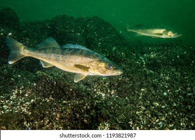 Walleye fish swimming in the St-Lawrence River
