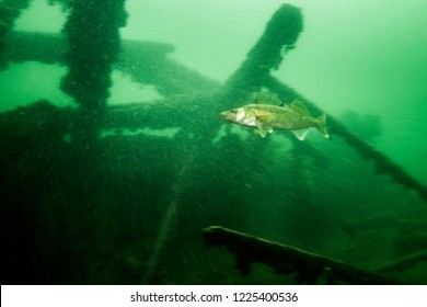 Walleye swimming near the Rothesay shipwreck in the St. Lawrence River in Canada