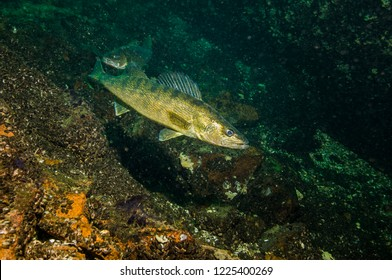 Walleye underwater in the St. Lawrence River in Canada