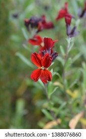 Wallflower Blood Red Covent Garden - Latin name - Erysimum cheiri Blood Red Covent Garden