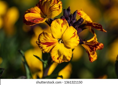 Wallflower in Bloom in Springtime