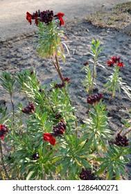 Wallflower, Erysimum cheiri, during flowering. Spring