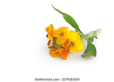 Wallflower lying on white background