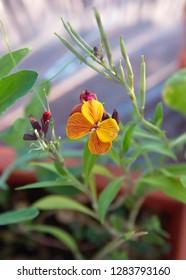 Wallflower with orange-red flowers, Erysimum cheiri, Cheiranthus cheiri