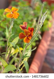 Wallflower with orange-red flowers, Erysimum cheiri, Cheiranthus cheiri