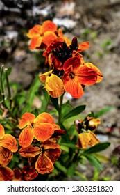 Wallflower with sunset bronze shades