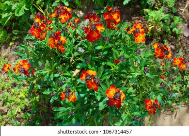 Wallflowers ( Cheiranthus ) in garden in spring on a sunny day