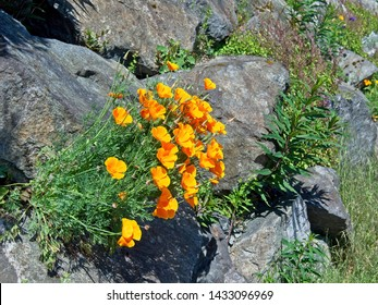 Wallflowers (Erysimum) decorating rocky retaining wall