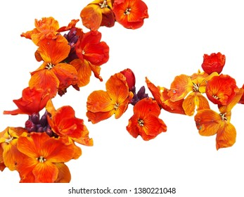Wallflowers spring flowers isolated