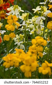 Wallflowers in a spring garden.