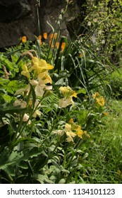 Wallflowers in Swiss cottage garden