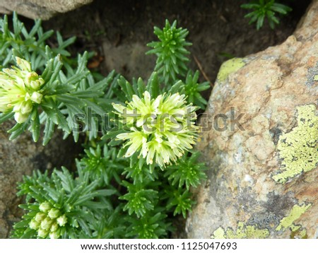 Wallichs Rhodiola Rhodiola Wallichiana Perennial Herb Stock Photo