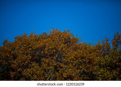 Wallpaper of beautiful autumn color leaves of platan in the park