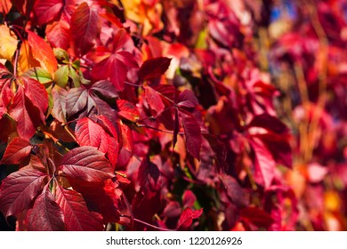 Wallpaper of beautiful autumn color leaves of grape in the park