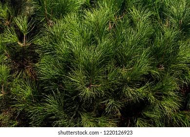 Wallpaper of beautiful Siberian cedar