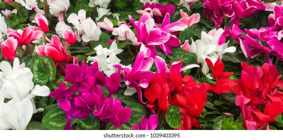 Wallpaper of colorful Cyclamen persicum flowers various color with green leafs. Nature Floral background. Cyclamen's blossom season. Many pink, white and red houseplant of cyclamen grow in pots