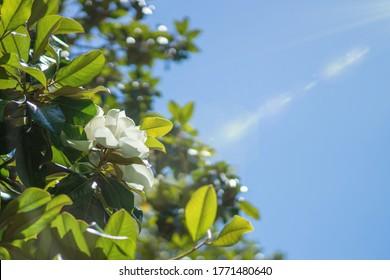 Wallpaper, creamy white southern magnolia Magnolia Grandiflora flower. Rays of the sun in the blue sky