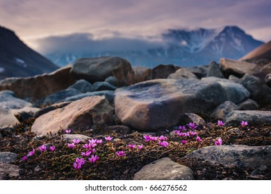Wallpaper landscape nature of the mountains of Spitzbergen Longyearbyen Svalbard on a polar day with arctic flowers in the summer