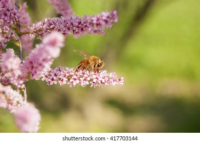 Wallpaper Macro Bee on pink Flowers Lateral view