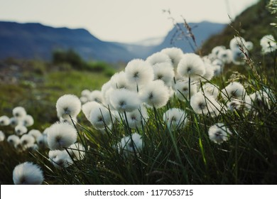 Wallpaper norway landscape nature of the mountains of Spitsbergen Longyearbyen Svalbard on a polar day with arctic flowers dandelion  in the sunset summer