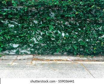 Walls covered in ivy
