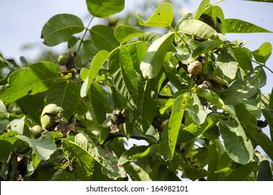 Walnut branch with ripe fruit, Juglans regia