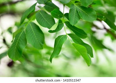 Walnut Branch Walnut Tree in spring