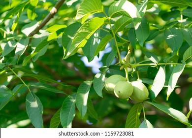 Walnut fruits grow on the tree. Unripe nuts.