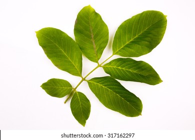 Walnut leaf isolated on a white background
