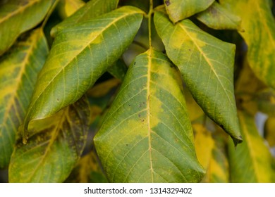 Walnut leaves with autumn colors