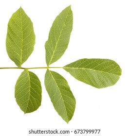 Walnut leaves isolated on white background