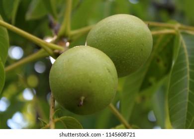 Walnut on the tree
